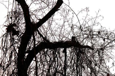 blackandwhite: Tree branches silhouette.