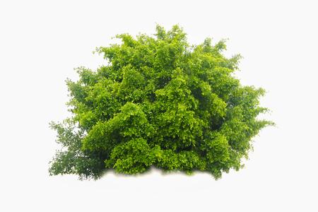buisson: vert brousse isolé sur fond blanc Banque d'images
