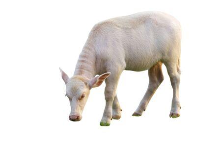 Baby albino buffalo on white background Stock Photo