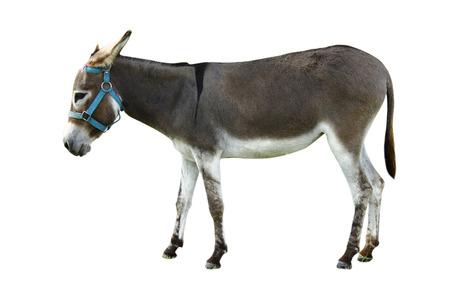 Brittany donkey on white background