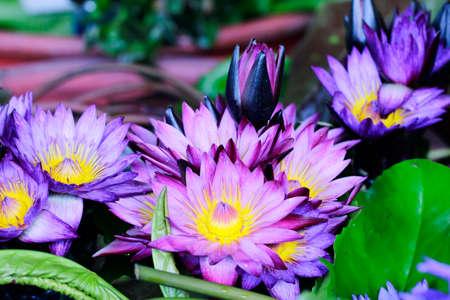 Close up of purple lotus flower