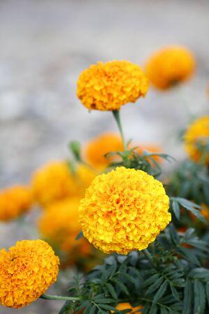 pot marigold: Marigolds (Tagetes erecta, Mexican marigold, Aztec marigold, African marigold)