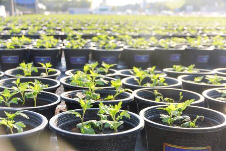Baby plants growing in a black plastic pot in rows.The spring planting. Early seedling