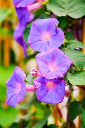 Beautiful Purple Violet Flowers Close-up Banque d'images