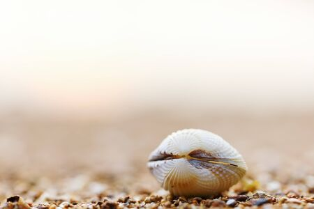 Sea shell, cowries, tropical and worm sea, Body whole forms the whole shell. Foto de archivo