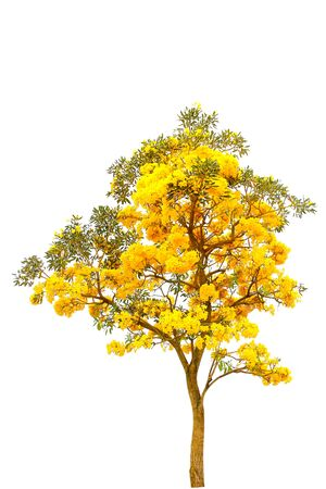 Silver trumpet tree, Tree of gold,Tabebuia aurea on white background
