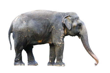 side view of stance thai elephant on white