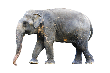 side view of stance thai elephant on white  background concept for animals ,pets, and Cunning Pets , ingenuity