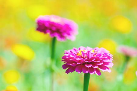 flowers chrysanthemums in autumn
