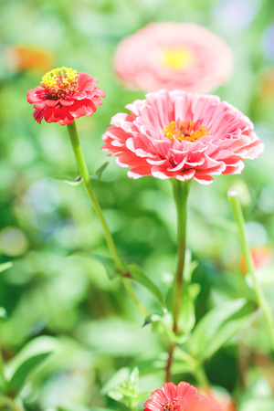 Chrysanthemum flowers as a background close up. Pink and purple Chrysanthemums. Stok Fotoğraf