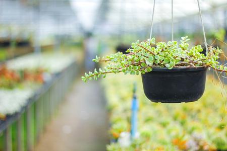 Hanging garden - succulent plants in similar twine pots, senecio rowleyanus Stok Fotoğraf