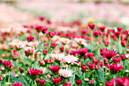 flower garden of multi coloured chrysanthemums