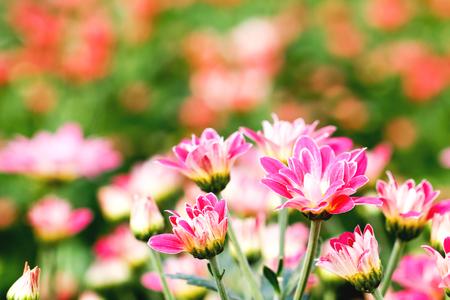 Pink Chrysanthemum Flower in Garden Stok Fotoğraf