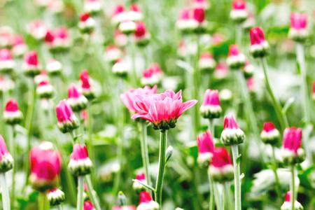 Beautiful chrysanthemum flower bud