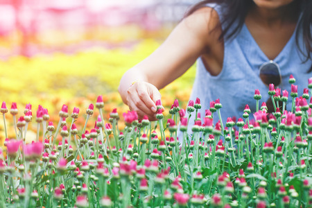Close up woman hand picking cosmos flowers in a garden.