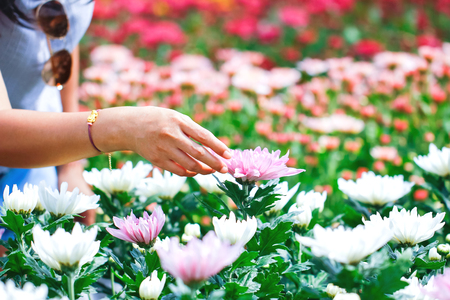 Close up woman hand picking cosmos flowers in a garden. Stok Fotoğraf - 118194329