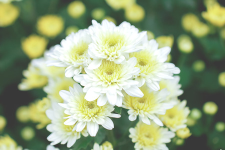 Flowers of white chrysanthemum under the sun light, with beautiful bokeh Stok Fotoğraf - 118194353
