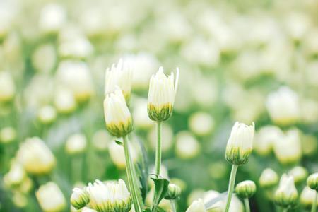 Flowers of white chrysanthemum under the sun light, with beautiful bokeh