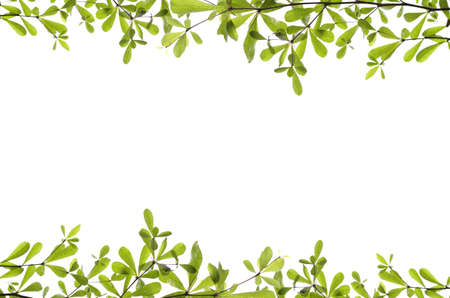 Green leaves on white background. Stock Photo - 12463185