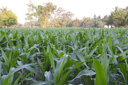 sufficiency: Corn crop of sufficiency economy.