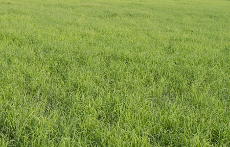 sufficiency: Growth in the fields of rice seedlings as sufficiency economy.