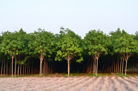 Background of natural rubber