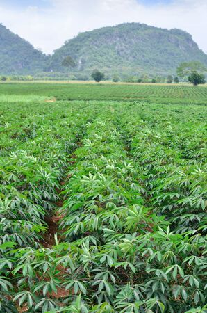 A field of cassava as a crop photo