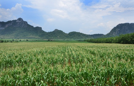 A field of corn as a crop with mountain background  photo