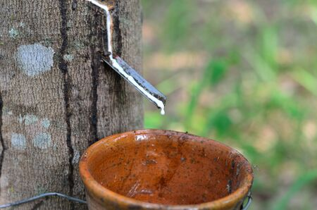 sap: Latex of para rubber tree dropping into a cup