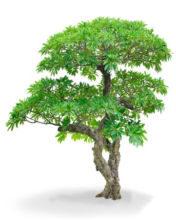 isolated  Champa  tree for landscape design photo