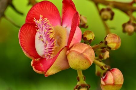 Beautiful close-up of Cannonball tree flowers  Couroupita guianensis Stock Photo - 15127613