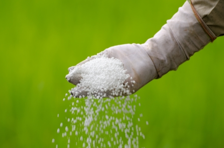 pouring of chemical fertilizer with farmer hand photo