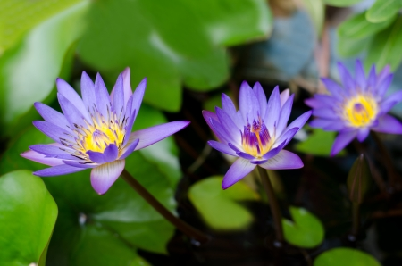 blue lotus and its leaf photo