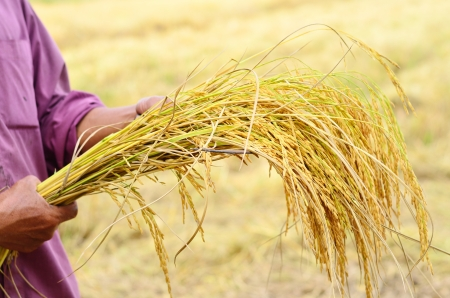 farmer is hold harvested jasmine rice in field Stock Photo