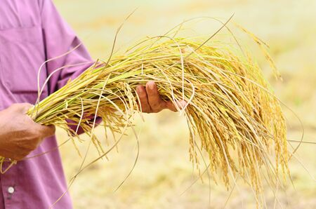 farmer is hold harvested jasmine rice in field photo
