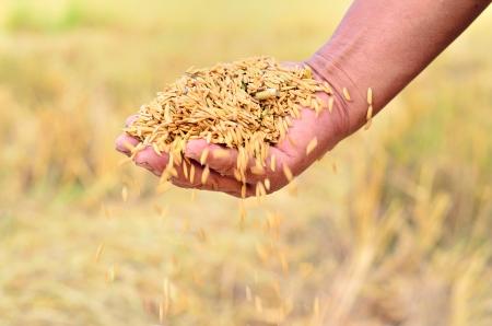 jasmine rice: Primer plano de las semillas de arroz jazm�n en la mano agricultor Foto de archivo
