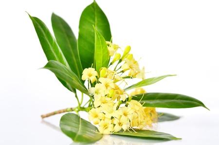 Tembusu flowers Fagraea fragrans Roxb