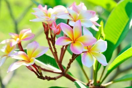 Frangipani, Plumeria, Templetree flowers at gardent