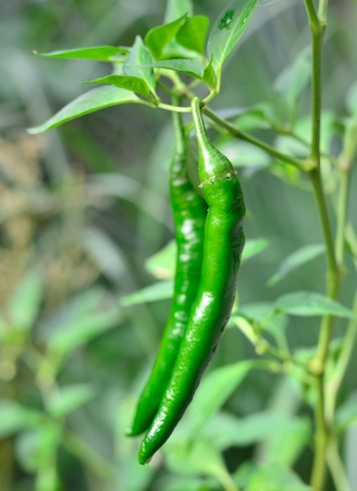 Close up green chillis in crop