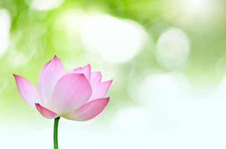 Cluse up Pink lotus Nelumbo nuclfera Gaertn  flower isolated with green background photo