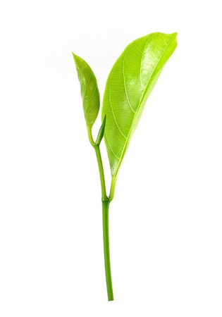 eudicots: close Eudicots, Eudicotidae plant Leaves (Jack fruit tree)