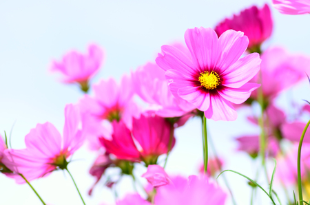 Pink flowers over blue sky in morning time