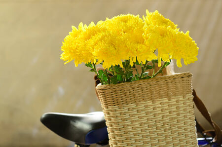 Chrysanthemum, dendranthemum yellow flower on bamboo bucket with bicycle photo