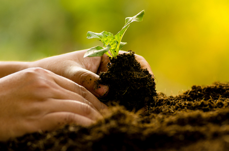 Agriculture,Plant,Seed,Seedling,Farmer planting sapling into soil over sunlight in morning time