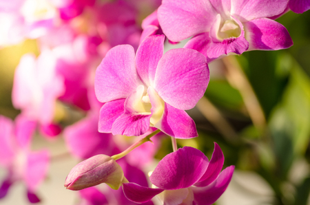Spring Flower, Pink orchid in garden with sunlight