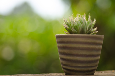 plant pot with cactus with sunlight and green background