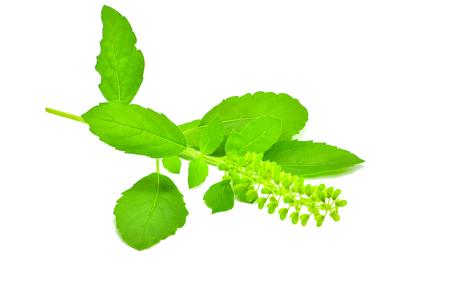 holy basil leaf isolate on white background for design