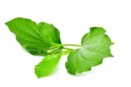 Wild Betel Leafbush isolated on white background for sedign Stockfoto