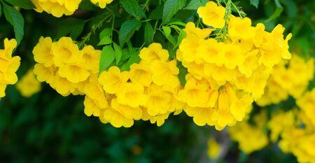 Yellow elder or Trumpet bush, Trumpet flower or Yellow trumpet-flower with green Stockfoto
