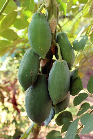 Papayas on the papaya tree  photo